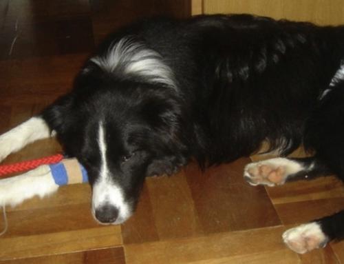 Avvelenamento del cane come riconoscere i sintomi e cosa fare