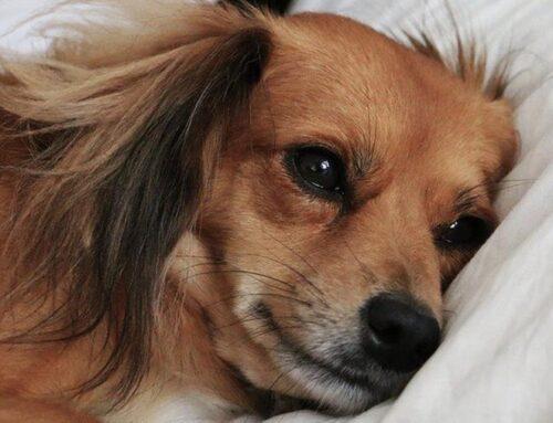 Domanda: perché i cani vivono meno delle persone?