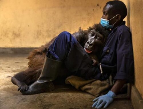 Ndakasi, morta tra le braccia del suo custode la gorilla di montagna diventata famosa per un «selfie»