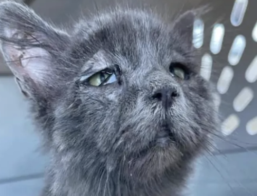 La rara sindrome che ha dato a un gatto di cinque mesi l'aspetto anziano e sconsolato